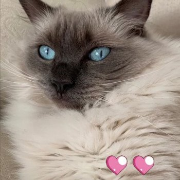chaton Ragdoll blue point ODYSSEE L'Eden du Gival
