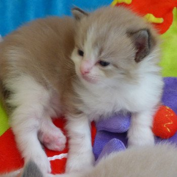 chaton Ragdoll blue point mitted OLYVER L'Eden du Gival