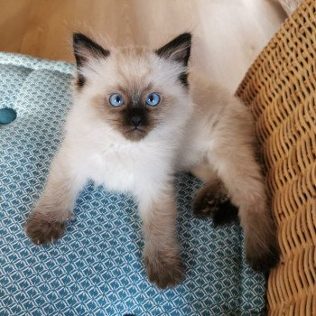 chaton Ragdoll seal point PHOEBUS L'Eden du Gival
