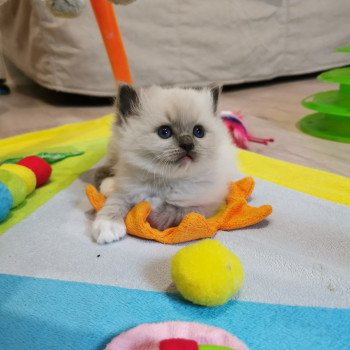 chaton Ragdoll blue point PIMBA L'Eden du Gival