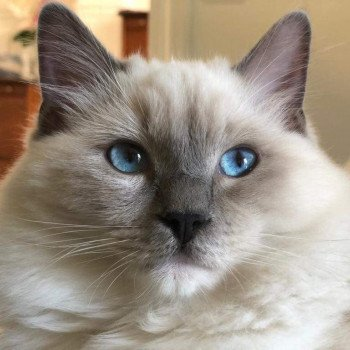 chaton Ragdoll blue point mitted POOKA L'Eden du Gival