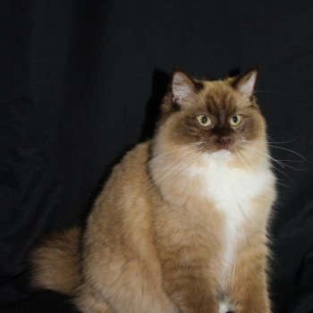Ragdoll chocolate sepia mitted